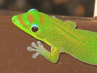 Hawaii_gecko
